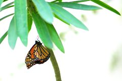 Mariposa, monarca fotografía de archivo libre de regalías