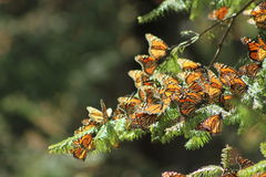 Mariposa Monarca /monarch fjäril royaltyfria foton