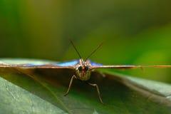 Mariposa morfo azul Morpho menelaus