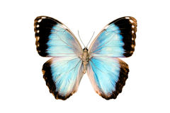 Mariposa, Morpho Achillaena Anakron Imagen de archivo