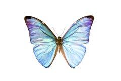 Mariposa - Morpho Adonis Foto de archivo