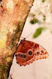 Mariposa, Morpho azul en árbol Imagen de archivo libre de regalías