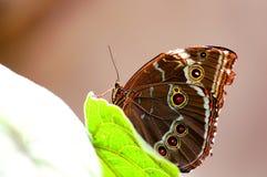 Mariposa, Morpho azul en la hoja verde Fotos de archivo