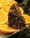 Mariposa Morpho azul en naranja Foto de archivo libre de regalías
