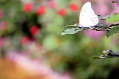 Mariposa, Morpho blanco en la hoja verde Imagenes de archivo