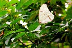 Mariposa, Morpho blanco en la hoja verde foto de archivo
