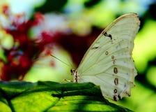 Mariposa, Morpho blanco en la hoja verde Fotografía de archivo libre de regalías