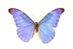 Mariposa - Morpho Diana Augustinae Imágenes de archivo libres de regalías