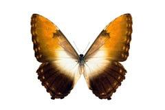 Mariposa - Morpho Hecuba Obidonus Foto de archivo libre de regalías