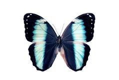Mariposa - Morpho Helenor Fotografía de archivo