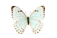 Mariposa, Morpho Luna Fotos de archivo