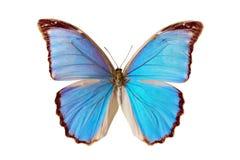 Mariposa - Morpho Nestira Imagen de archivo