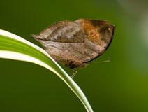 Mariposa muerta de la hoja Imagenes de archivo