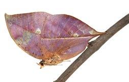 Mariposa muerta de la hoja Fotografía de archivo