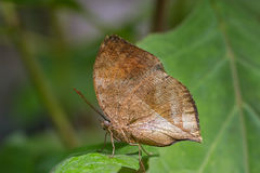 Mariposa muerta de la hoja Imagen de archivo libre de regalías