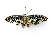 Mariposa muerta en el fondo blanco Imagen de archivo libre de regalías