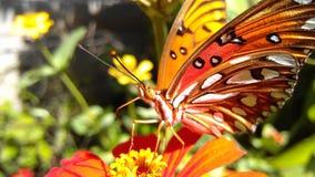 Mariposa. Nature amazing beauty red orange Costa Rica stock photography