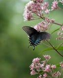 Mariposa negra Imágenes de archivo libres de regalías