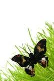 Mariposa negra Imagenes de archivo