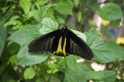 Mariposa negra Fotografía de archivo libre de regalías