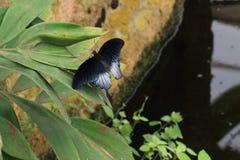 Mariposa negra al lado de una charca fotos de archivo