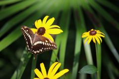 Mariposa negra/blanca en la flor amarilla Foto de archivo libre de regalías