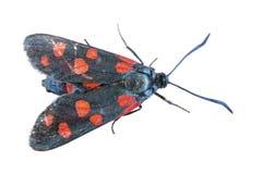 Mariposa negra con los puntos rojos en el fondo blanco fotografía de archivo libre de regalías