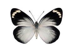 Mariposa negra de Jezabel Imágenes de archivo libres de regalías