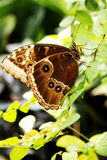 Mariposa negra de Swallowtail Foto de archivo libre de regalías