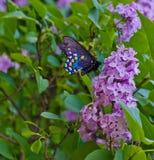 Mariposa negra de Swallowtail Fotografía de archivo