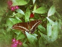 Mariposa negra de Swallowtail en una hoja de Pentas foto de archivo libre de regalías
