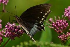 Mariposa negra de Swallowtail que descansa sobre la flor Foto de archivo libre de regalías