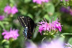 Mariposa negra del este de Swallowtail Fotos de archivo libres de regalías