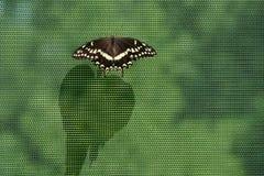 Mariposa negra del swallowtail en la red de la malla que echa un shado largo Foto de archivo libre de regalías