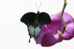 Mariposa negra en la flor rosada de la orquídea Fotografía de archivo libre de regalías