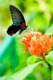 Mariposa negra en las flores tropicales Fotografía de archivo libre de regalías