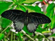 Mariposa negra en las hojas verdes Imagen de archivo