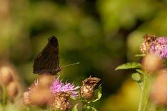 Mariposa negra en un trébol Foto de archivo