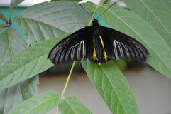 Mariposa negra en una rama Imagen de archivo