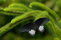 Mariposa negra hermosa, gran mormón, memnon de Papilio, descansando sobre la rama verde imagenes de archivo