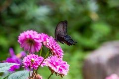 Mariposa negra japonesa de la lentejuela en una flor foto de archivo libre de regalías