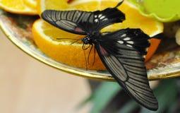 Mariposa negra que se sienta en una fruta cítrica Imágenes de archivo libres de regalías