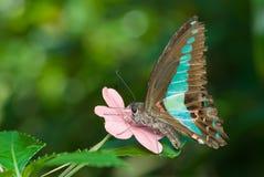 Mariposa negra, roja y verde Fotografía de archivo libre de regalías