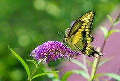 Mariposa negra y amarilla hermosa en verde y púrpura Imagen de archivo