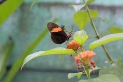 Mariposa negra y anaranjada, la Guayana Francesa imagenes de archivo