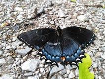 Mariposa negra y azul Fotografía de archivo libre de regalías