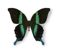 Mariposa negra y azul aislada en blanco Imágenes de archivo libres de regalías