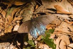 Mariposa negra y azul en Luisiana del sur Fotografía de archivo