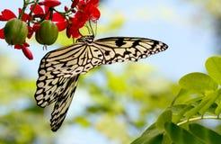 Mariposa negra y blanca de la ninfa del árbol, espacio de la copia Fotos de archivo