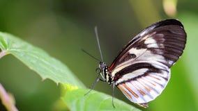 Mariposa negra y blanca de Longwing, llave del piano imagen de archivo